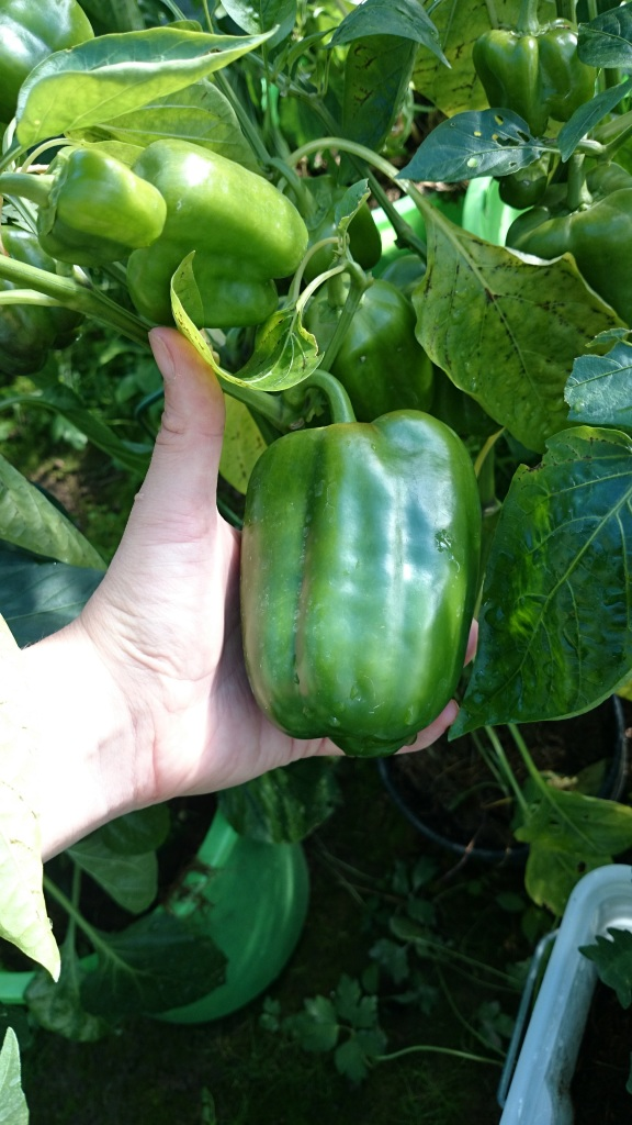 paprika i växthuset