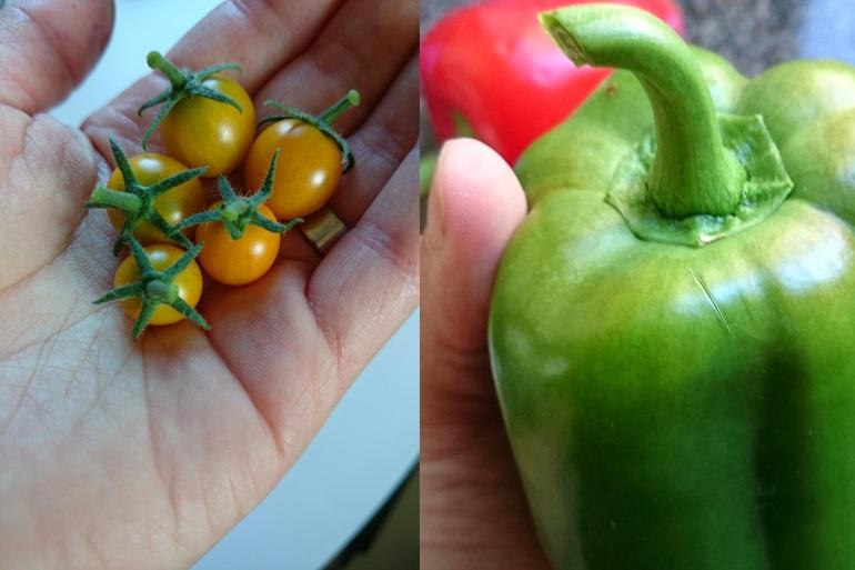 skörd tomater och paprika