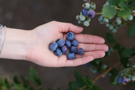 amerikanska blåbär highbush blueberries powerfruits