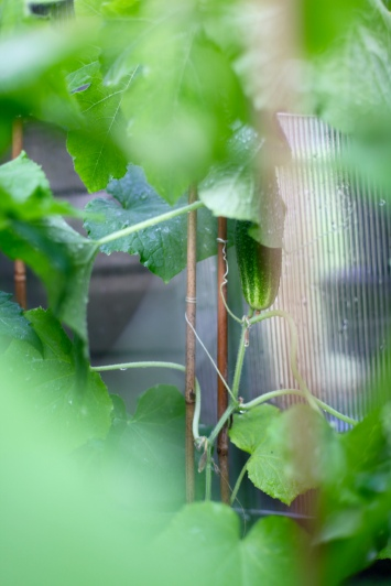 odla växteråsgurka klänger sig