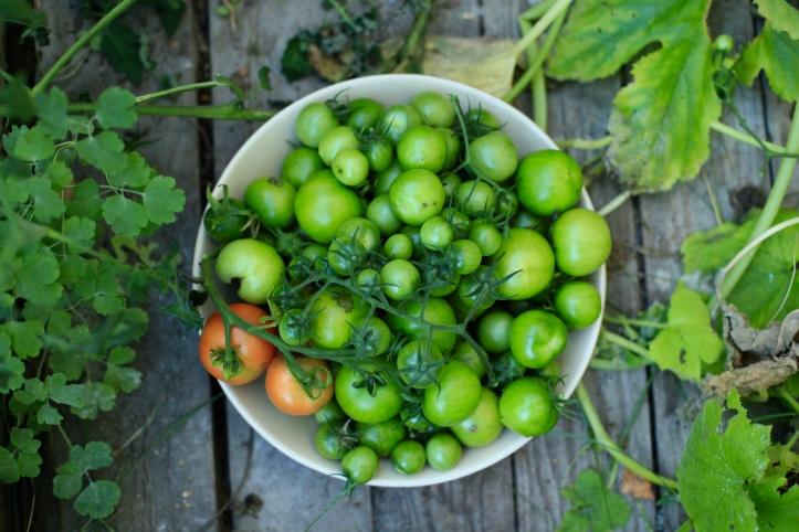 tomatskörd 2