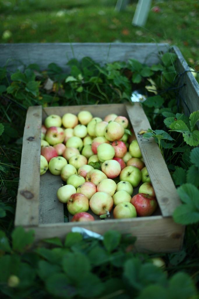 Plocka äpplen trädgårdsäpplen